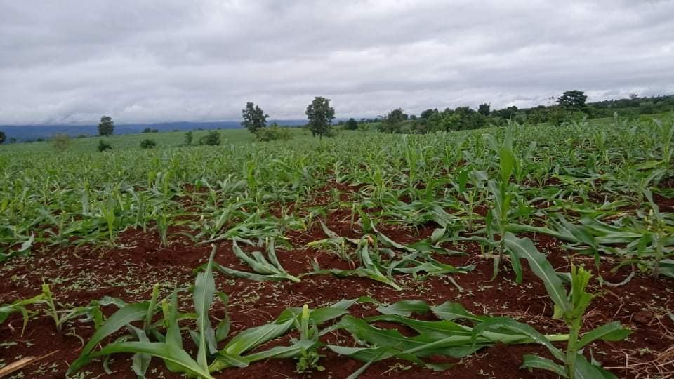 corn farms are destroy in Hsihseng Township
