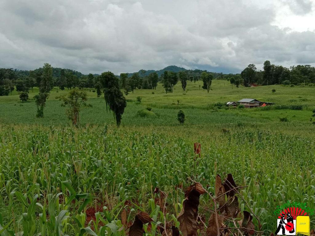 Corn Farm at Bang Say village